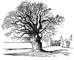 The Pilgrim Oak.