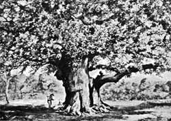 The Major Oak, Birklands