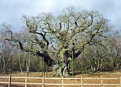 The Major Oak in 2003.